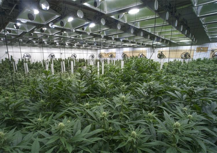 Commercial growing of marijuana