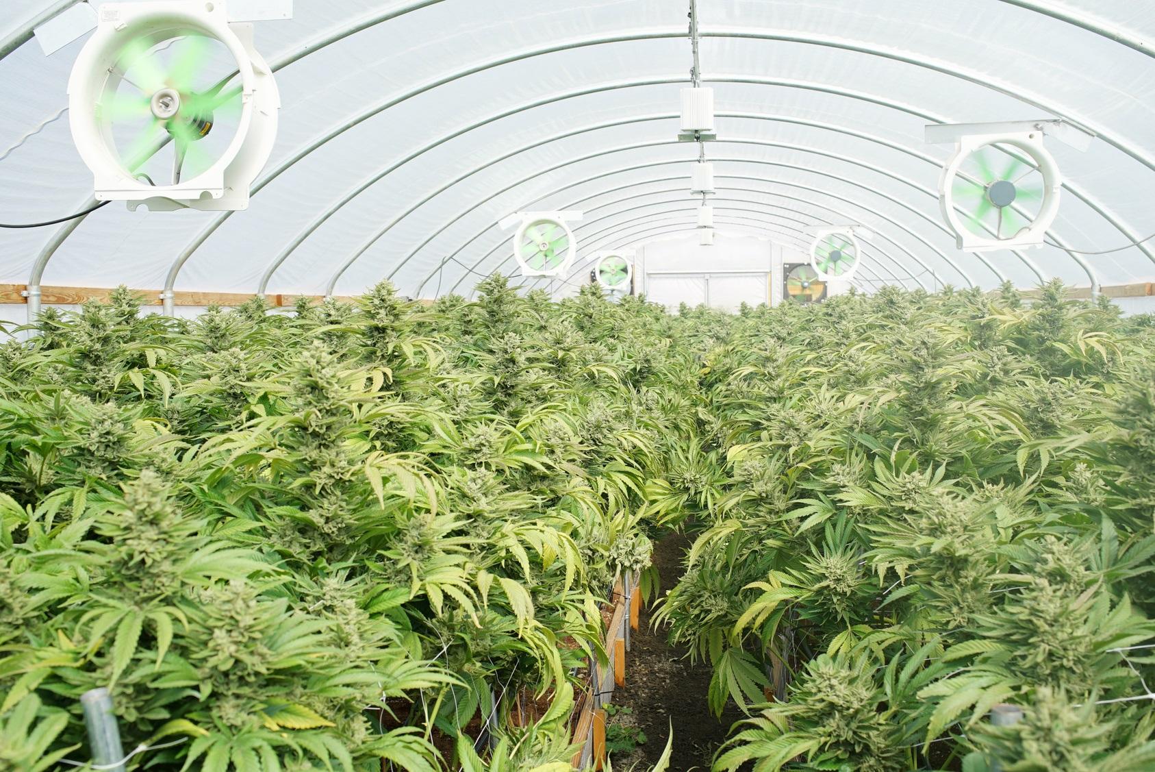 Fotolia_Commercial cannabis greenhouse_M