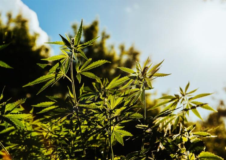 fresh cannabis in a field