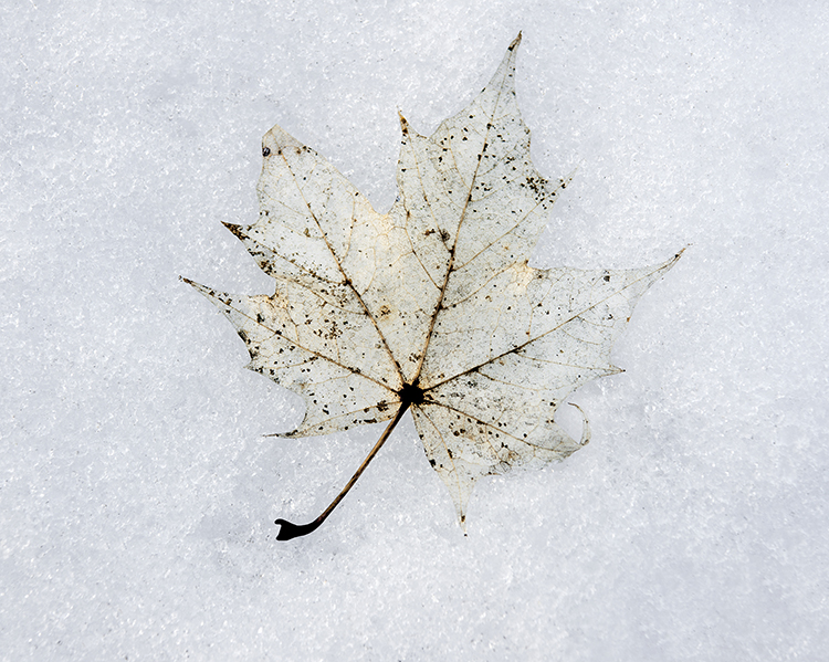 leaf on melting snow shutterstock_88300504_leaf on snow