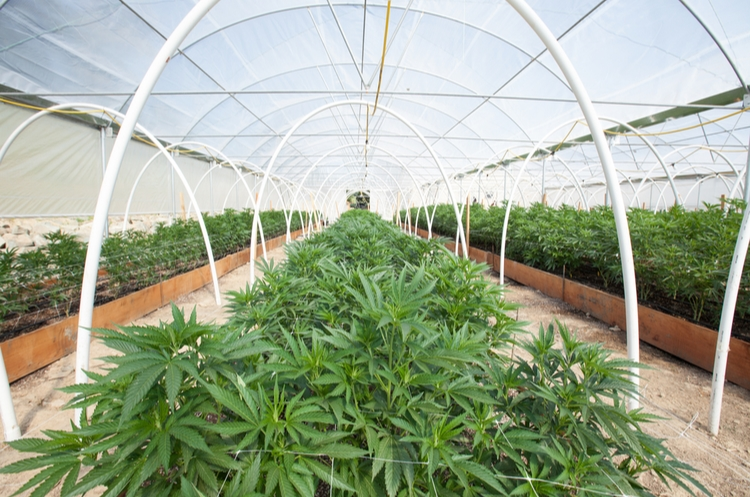 shutterstock_666360106_cannabis greenhouse_web